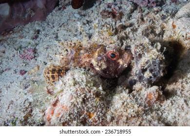 Bearded, tasseled or smallscale Scorpionfish (Scorpaenopsis oxycephala) sitting on coral bommie in the Indian Ocean, Zanzibar