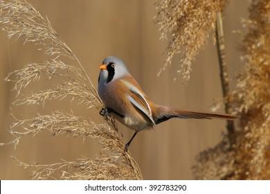 Bearded Tit, male - Reedling (Panurus biarmicus)