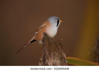 bearded tit [Panurus biarmicus]