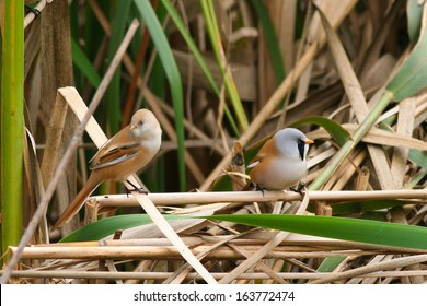 Bearded tit (Panurus biarmicus) male and female in reed