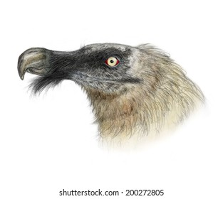 Bearded vulture (Gypaetus barbatus) head portrait - white (no background)