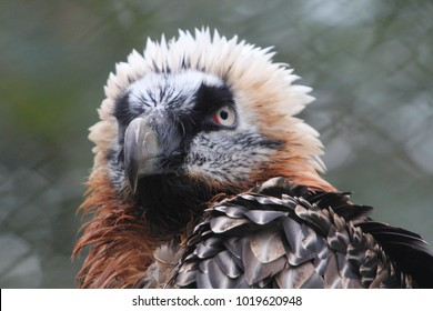 The bearded vulture (Gypaetus barbatus), also known as the lammergeier or ossifrage, is a bird of prey and the only member of the genus Gypaetus