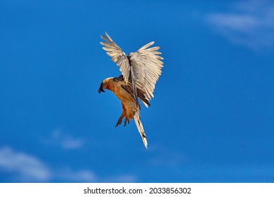 Bearded vulture, Gypaetus barbatus or Lammergeier against blue sky. Close up, flying bird of prey, direct view. Wild bird, Spanish Pyrenees, Spain.
