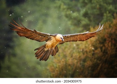 Bearded vulture, Gypaetus barbatus or Lammergeier in full   wingspan. Close up,  front view. Wild bird, snowing, autumn in Spanish Pyrenees, Spain.