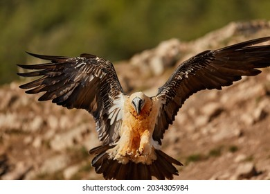 Bearded vulture, Gypaetus barbatus or Lammergeier in full   wingspan, ladning. Close up,  front view.