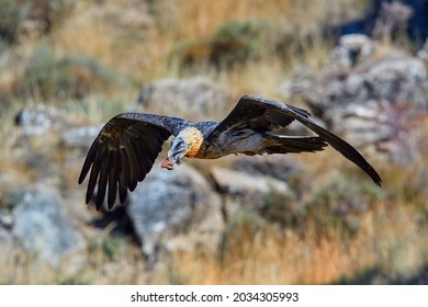 Bearded vulture, Gypaetus barbatus or Lammergeier in full   wingspan, flying over autumn meadow. Close up,  front view. Wild bird,  autumn in Spanish Pyrenees, Spain.