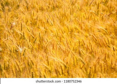 bearded wheat backlit and wind blown, blurring the wheat heads and showing movement.