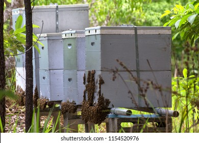 Bearding beehives in a field on the Atherton Tablelands in Queensland, Australia
