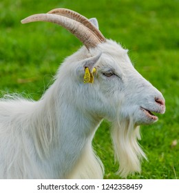 Beardy white goat
