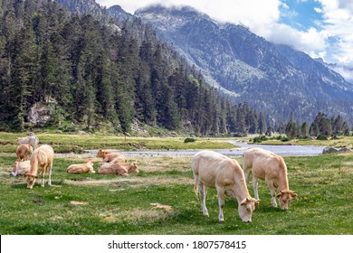 The Bearnaise French cow breed of domestic beef cattle on a green pasture of alpine meadow grazing grass with mountains behind, high Pyrenees mountain landscape in France, Europe