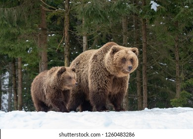 Bears family goes through the winter forest