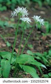 Bear's garlic, wild garlic (Allium ursinum)
