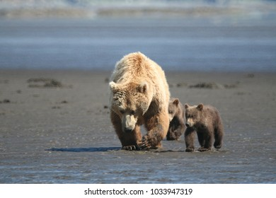 Bears on the beach at low tide looking for clams. The mother bear hunts for clams with her claws to feed her cubs, Homer, Alaska
