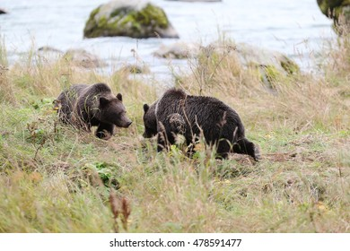 Bears playing in a wilderness.