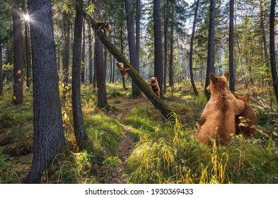 Bears walk in the forest