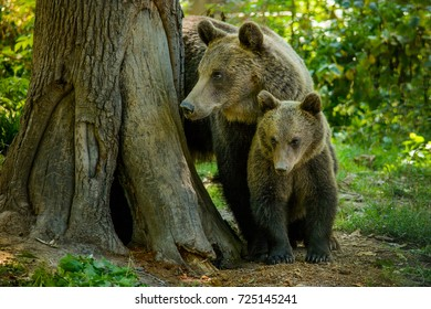 Bears from Zarnesti city, Brasov county, Transylvania, Romania
