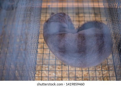 The beast mink sleeps curled up in a cage