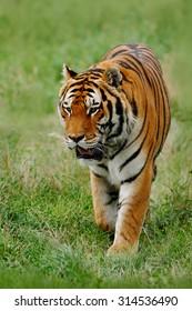 Beast of prey  Amur or Siberian Tiger, Panthera tigris altaica, walking in the grass