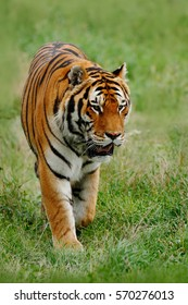 Beast of prey Amur or Siberian Tiger, Panthera tigris altaica, walking in the grass. Dangerous animal in the nature habitat. Wildlife scene from nature.