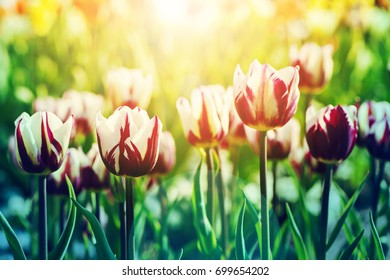 Beatiful background of tulips flower background in rim light with sunflare on the foreground, toned with modern orange-blue gradient, selective focus, shallow dof