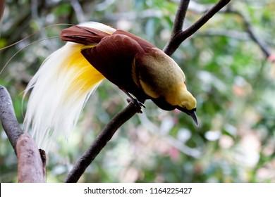 Beatiful bird of paradise on branch, cendrawasih bird