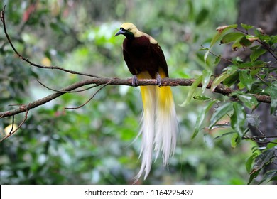 Beatiful bird of paradise on branch, cendrawasih bird