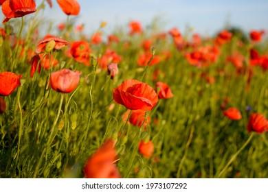 beatiful flower the summer red flower