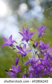 beatiful flowers of purple campanula. Summertime