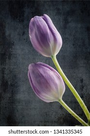Beatiful purple tulips on a textured background, beauty of nature with abstract texture