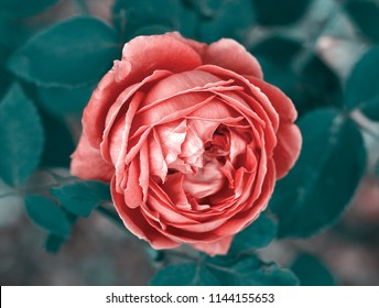 red rose tumblr images stock photos vectors shutterstock