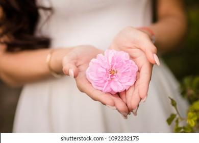 beatiful rose damascena in woman hands