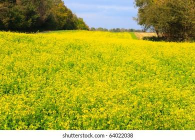 Beatiful yellow field of colza