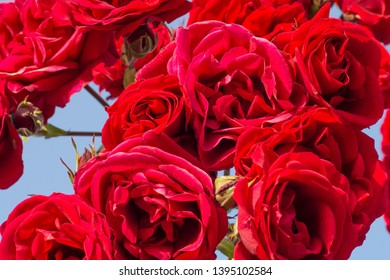 beatifull red and pink rose