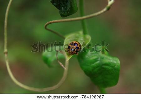 beatles on leaf macro
