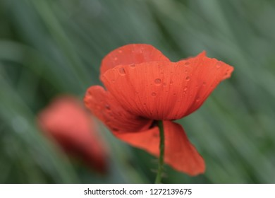 Beatuiful Papaver with Rain Drops in front of a Background of blurred green Grass