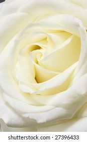 Beaty white rose for background.
