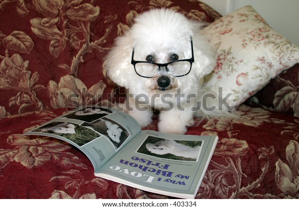 Beau a Bichon Frise, Relaxes on his couch while reading one afternoon