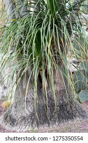 Beaucarnea recurvata (elephant's foot), a species of plant in the family Asparagaceae, native to eastern Mexico.