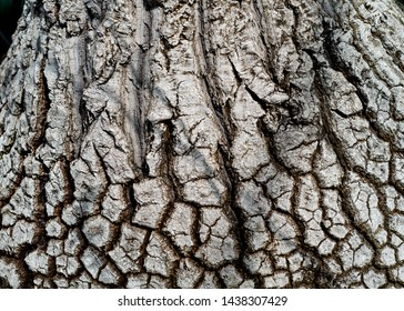 Beaucarnea recurvata;  elephant's foot tree bark - texture or background copyspace