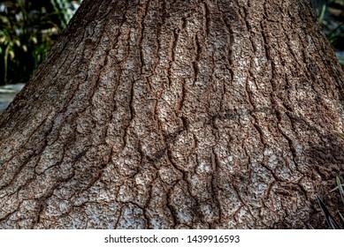 Beaucarnea recurvata;  elephants foot tree bark - texture or background copyspace