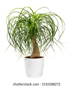 Beaucarnea recurvata or Nolina recurvata plant, otherwise called the Ponytail Palm, potted in a large white tub isolated on white