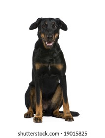 Beauceron (18 months) in front of a white background
