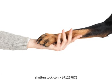 Beauceron dog paw in human hand friendship concept, white background. Sheepdog clever companion, domestic animal