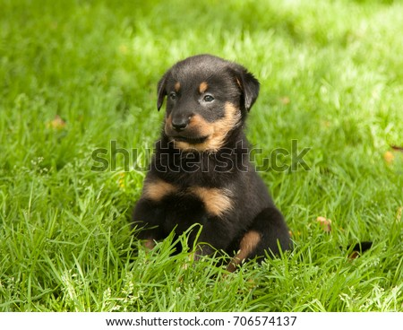 Beauceron Puppy Stock Photo Edit Now 706574137 Shutterstock