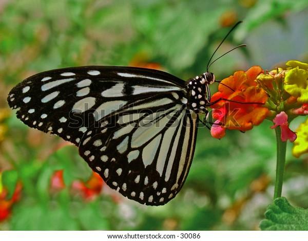 Beauitiful Butterfly enjoying a meal.