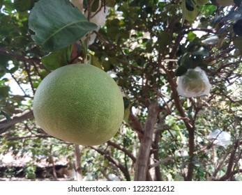 Beauitiful Citrus maxima