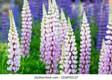 Beauly Lupin Flowers, Lupine, Lupinus.