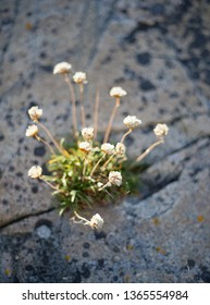 Beautful white wild flower called trift growing in a crevice in the rock