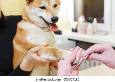 A beautician treats Shiba Inu dogs nails with a nail file