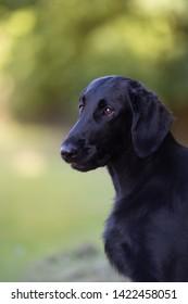 Beautidul dog, black flat coated retriver, vertical close up portrait